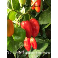 APS 034C Habanero fermentation Pepper