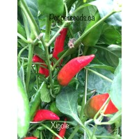 Xigole Pepper Seeds