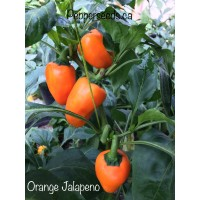 Orange Jalapeno Pepper Seeds