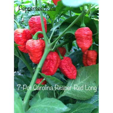 Carolina Reaper Red Long