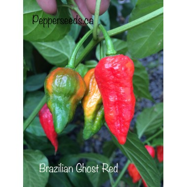 Brazilian Ghost Red