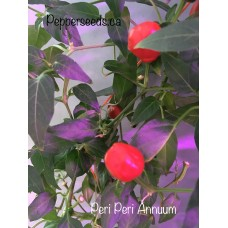 Peri Peri Annuum Pepper Seeds