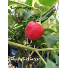 Alajuela Red Pepper Seeds