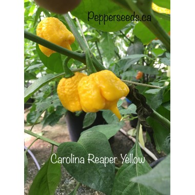Carolina reaper yellow
