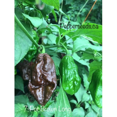 7-Pot Brown Long Pepper Seeds