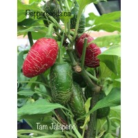 Tam Jalapeno Pepper Seeds