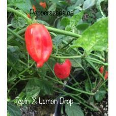 Tepin X Lemon Drop Pepper Seeds