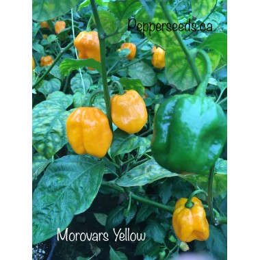 Morovars Yellow Pepper Seeds