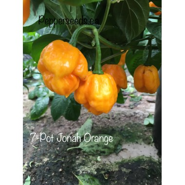 7-Pot Jonah Orange Pepper