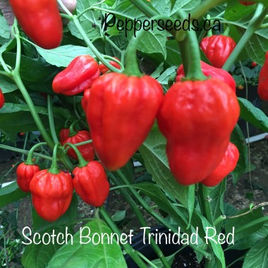 Scotch Bonnet Trinidad Red Pepper Seeds