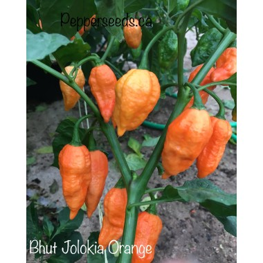 Bhut Jolokia Orange Pepper Seeds