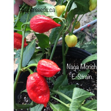 Naga Morich E-Strain Pepper Seeds