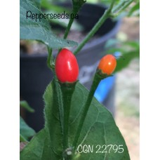 CGN 22795 Pepper Seeds