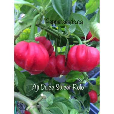 Aji Dulce Sweet Rolo Pepper Seeds