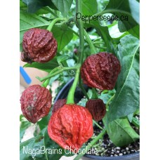 Nagabrains Chocolate Pepper Seeds