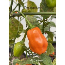 Aji Calabaza Pepper Seeds