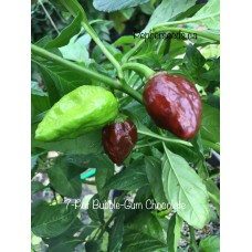 7-Pot Bubble-Gum Chocolate Pepper Seeds
