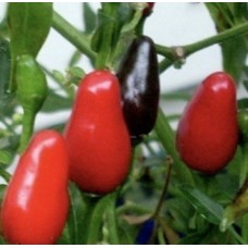 Zimbabwe Birds Eye Black Pepper Seeds
