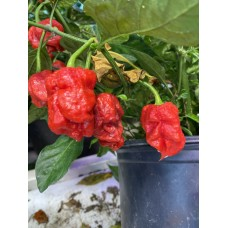 7-Pot BTR Pepper Seeds