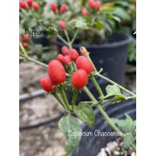 Capsicum chacoense Pepper Seeds