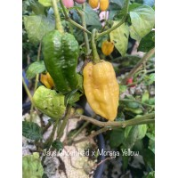 Jays Ghost Red x Moraga Yellow Pepper Seeds