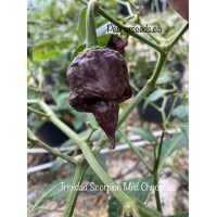 Trinidad Scorpion Mild Chocolate Pepper Seeds