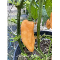 Bhut Jolokia Peach x Jonah Pepper Seeds