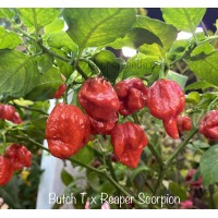 Butch T x Reaper Scorpion Pepper Seeds