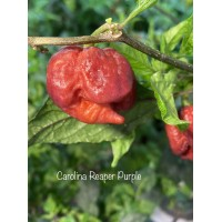 Carolina Reaper Purple Pepper Seeds