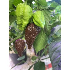 Umorok Chocolate Pepper Seeds