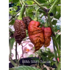 BBMx SRM3 Chocolate Pepper Seeds