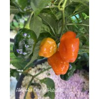 APS Hot Orange Habanero Pepper Seeds