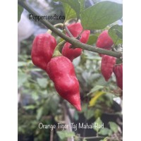 Orange Tiger Taj Mahal Red Pepper Seeds