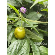 Rocoto Olive Pepper Seeds