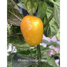 Miniature Rocoto Orange Pepper Seeds