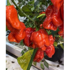 BYC Pepper Seeds