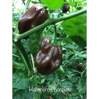 Habanero Chocolate Pepper Seeds