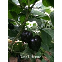 Black Habanero Pepper