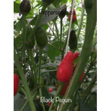 Black Pequin Pepper