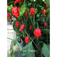 7-Pot Oracle Pepper Seeds