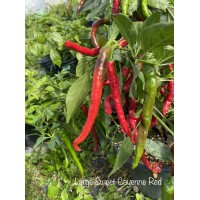 Large Sweet Cayenne Red Pepper Seeds