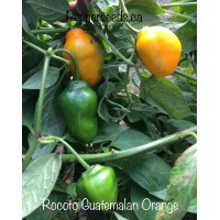 Rocoto Guatemalan Orange