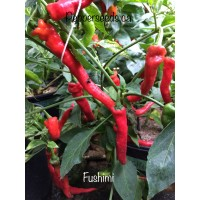 Fushimi Pepper Seeds