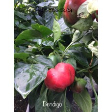 Bendigo Pepper