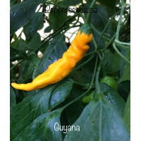 Guyana Pepper Seeds
