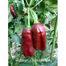 Chocolate Habanero Long