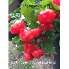 APS Scotch Bonnet Red small Pepper