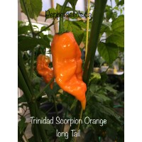Trinidad Scorpion Orange long Tail