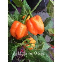 Aji Margaritino Orange Pepper Seeds