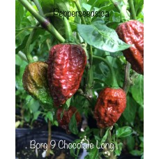 7-Pot Borg 9 Chocolate Long Pepper Seeds